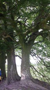 Avebury.Sacred Tree.June 18