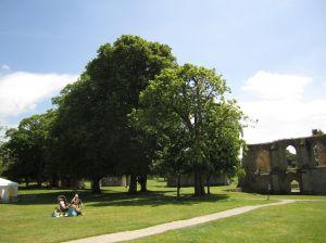 Sacred Trees at the Glastonbury Abbey.June 16