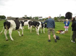 Stanton Drew Stone Circle.the curiosity of the Cows and interaction.June 14
