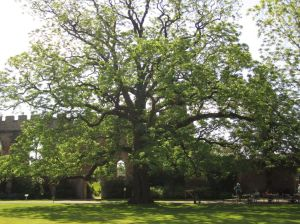 Wells.Ancient Tree.Bishops Castle.June 18