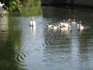 Wells.Bishops Castle.Swans.June 18