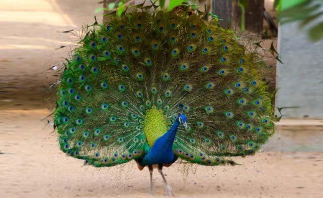 peacock_650x400_51425290220
