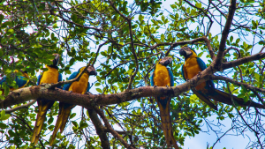 Blue-and-Yellow-macaws-by-Jeff-M-20151-300x169