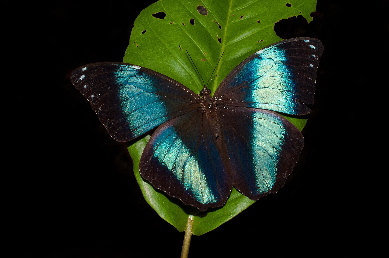 Blue-morpho-butterfly-1