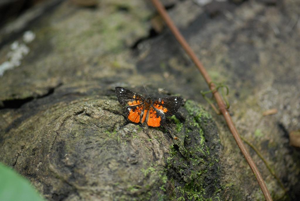 Butterfly.Amazon
