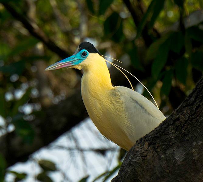 Capped-heron-Near-Tahuayo-Lodge