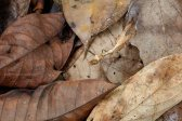 dead-leaf-praying-mantis