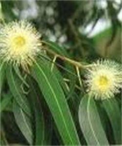 Eucalyptus (Wild) Yin
