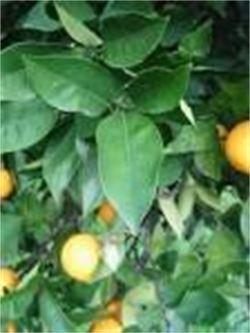 Sinaasappel (Yin)