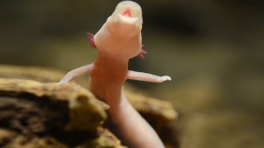 Baby Olm