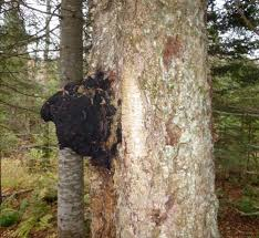 Chaga Mushroom grows on Birch tree