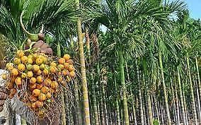 Areca Nut.1